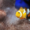Clown Fish Jigsaw