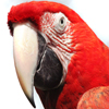 Jigsaw: Red Macaw