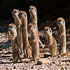 Shy meerkat family slide …