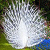 White peacock slide puzzl…